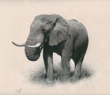 African Bull Drawing 19x19 Drawing - Darren Baker