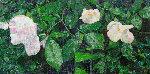 White Roses PP 2013 Limited Edition Print - Jennifer Bartlett