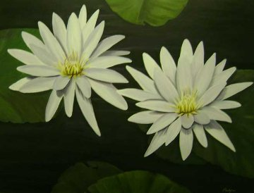 White Water Lilies 2011 30x40 Original Painting - Palyn Beaulieu