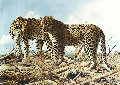 Leopard Lovers At Chitake Springs 1995 35x47 Original Painting - Craig Bone