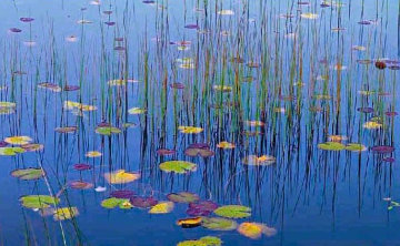 Water Lilies  Panorama by Peter Lik