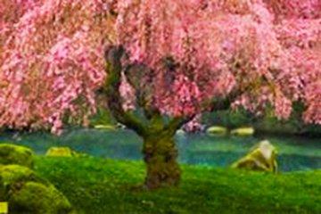 Tree of Dreams (Washington State) 2M Super Huge Panorama - Peter Lik