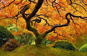 Tree of Zen 1.5M Super Huge  Panorama - Peter Lik