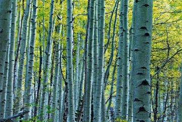 Endless Birches Colorado Epic Super Huge Panorama - Peter Lik