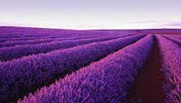 Lavender (Nabowla, Tasmania) Panorama - Peter Lik