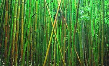 Bamboo (Pipiwai Trail Hana Hawaii) Panorama by Peter Lik