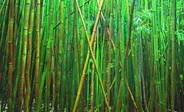 Bamboo (Pipiwai Trail Hana Hawaii) 2M Super Huge Panorama by Peter Lik