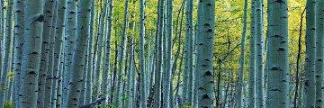 Endless Birches Colorado AP Panorama by Peter Lik