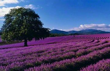 Lavender Sea (Tasmania, Australia) Panorama - Peter Lik