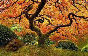 Tree of Zen Super Huge Epic 150 In Panorama - Peter Lik