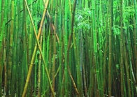 Bamboo (Pipiwai Trail Hana Hawaii) 2M Super Huge Panorama by Peter Lik - 0
