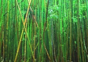 Bamboo (Pipiwai Trail Hana Hawaii) Panorama - Peter Lik