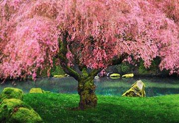 Tree of Dreams (Washington State) Panorama by Peter Lik