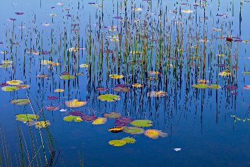 Lilies of the Pond AP Panorama by Peter Lik