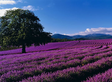 Lavender Sea Panorama - Peter Lik