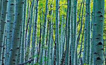 Endless Birches Colorado  Panorama - Peter Lik