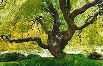 Tree of Serenity Super Huge Panorama - Peter Lik