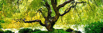 Tree of Serenity Panorama by Peter Lik