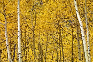 Yellow Panorama by Peter Lik
