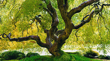 Tree of Serenity 1.5M Huge! Panorama - Peter Lik