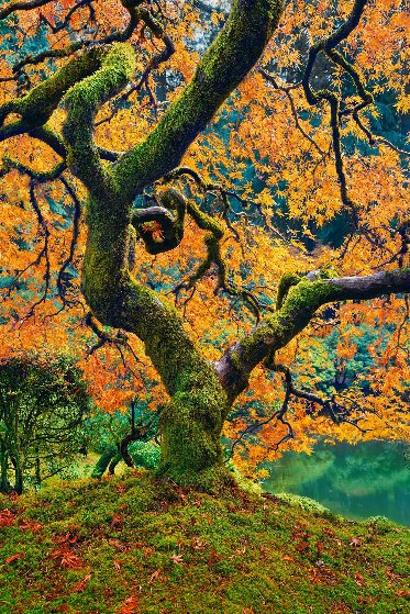 Tree of Beauty 1.5M Huge! Panorama by Peter Lik