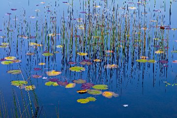 Lilies of the Pond 1.5M Huge! Panorama - Peter Lik