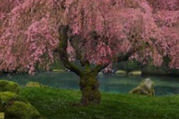 Tree of Dreams AP (Washington State) Panorama by Peter Lik
