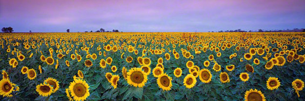 Sunflowers (small edition) Panorama by Peter Lik