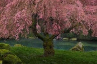 Tree of Dreams (Washington State) 1.5M Huge Panorama by Peter Lik - 0
