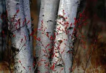 Silver Birches Panorama - Peter Lik