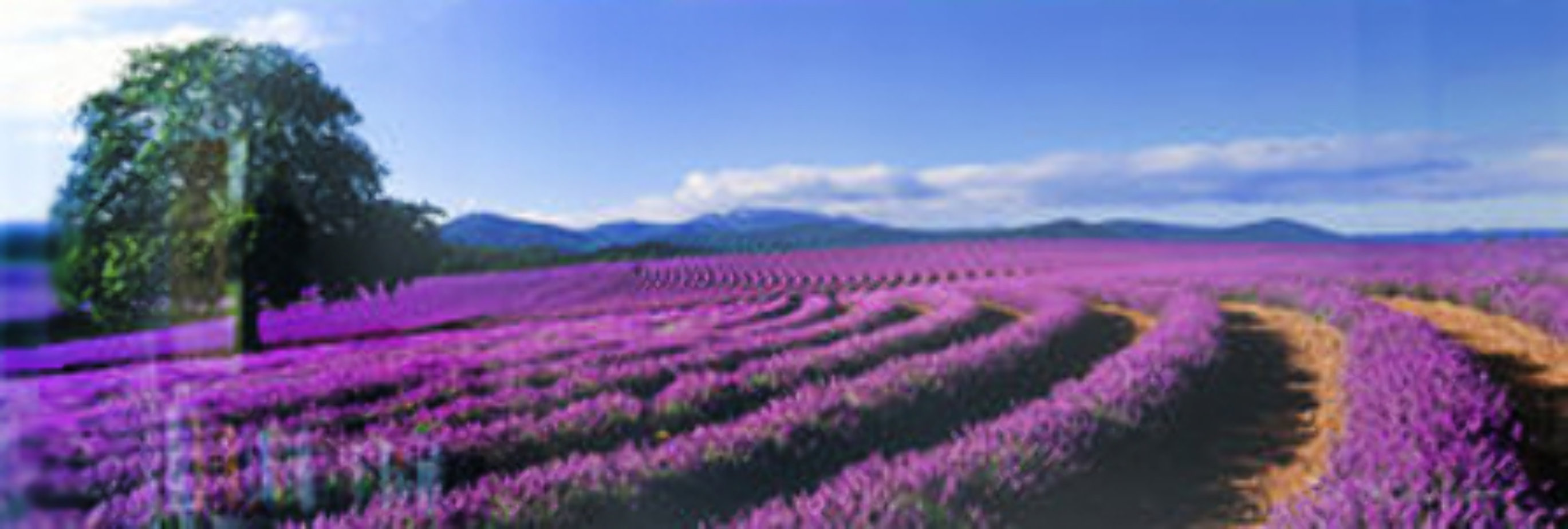 Lavender Sea (Tasmania, Australia) 1.5 M Huge Panorama by Peter Lik