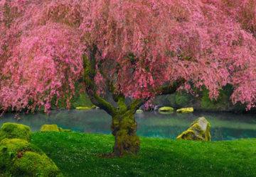 Tree of Dreams AP (Washington, State) Panorama by Peter Lik