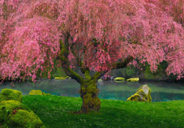 Tree of Dreams AP (Washington, State) Panorama by Peter Lik