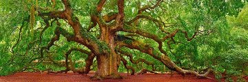 Tree of Hope Panorama by Peter Lik