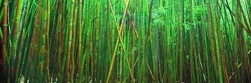 Bamboo (Pipiwai Trail, Hana, Hawaii) 2M Super Huge Panorama - Peter Lik