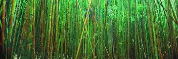 Bamboo (Pipiwai Trail, Hana, Hawaii) 2M  Huge Panorama - Peter Lik