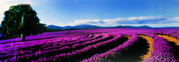 Lavender Sea (Tasmania, Australia) Panorama by Peter Lik
