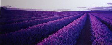 Lavender (Nabowla, Tasmania) Panorama by Peter Lik