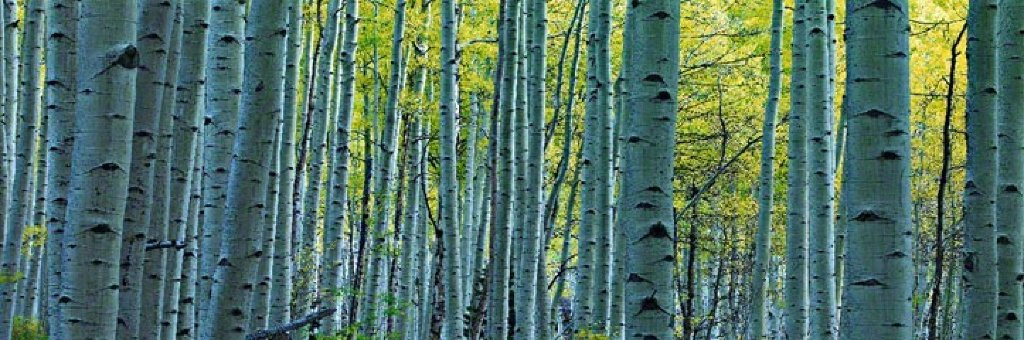 Endless Birches Colorado  Panorama by Peter Lik
