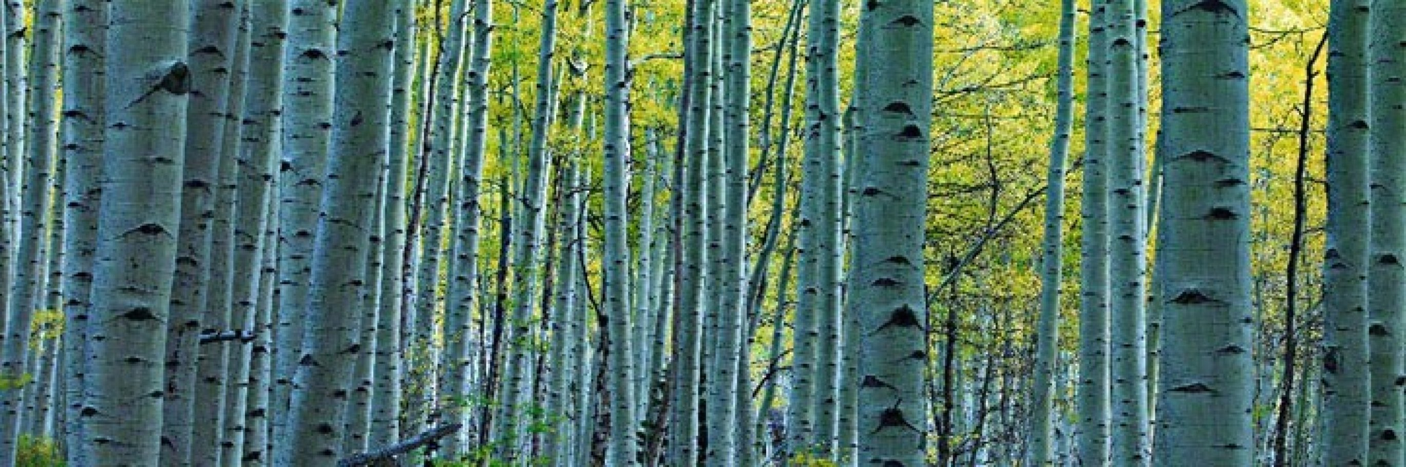 Endless Birches Colorado 1.5M Huge Panorama by Peter Lik