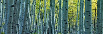 Endless Birches Colorado  Panorama by Peter Lik