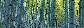 Endless Birches Colorado 1.5M Huge Panorama - Peter Lik
