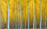 Cathedral Forest   Panorama by Rodney Lough, Jr.  - 0