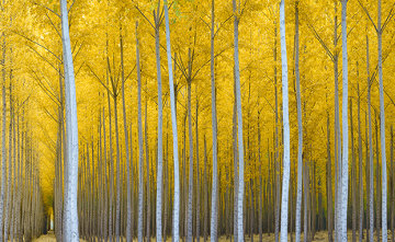 Cathedral Forest   Panorama by Rodney Lough, Jr.
