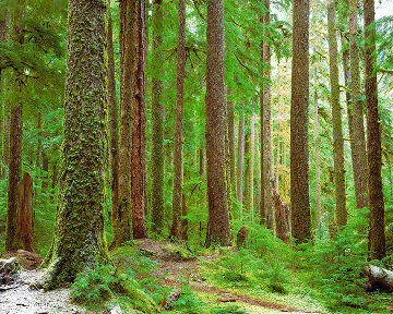 Ancient Forest Panorama by Rodney Lough, Jr.