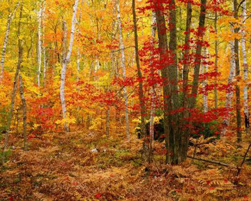 Big Birch Forest   AP Panorama by Rodney Lough, Jr.