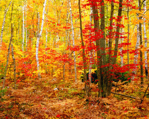 Big Birch Forest     Panorama by Rodney Lough, Jr.
