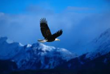 High Country Flight - Eagle  Panorama by Thomas Mangelsen