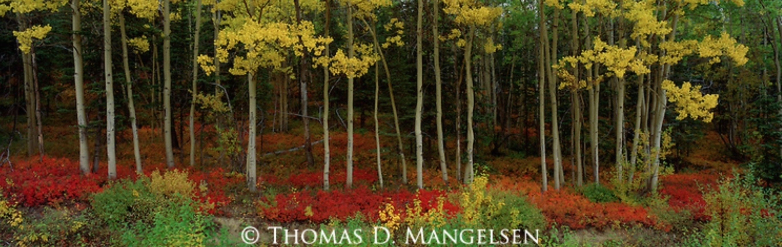 Among the Aspens Panorama by Thomas Mangelsen