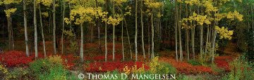 Among the Aspens Panorama - Thomas Mangelsen